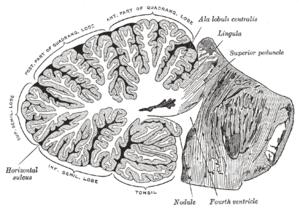 Anatomy of Arbor Vitae